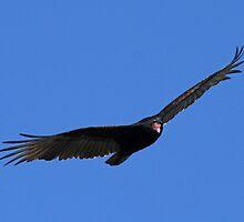 Turkey vulture in flight 2 by jozi1
