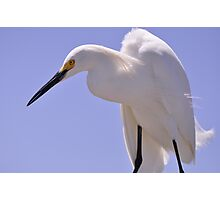 Snowy Egret, As Is.............Elvis? Photographic Print