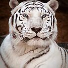 """""""Eye of the Tiger"""" - white bengal tiger by John Hartung"""