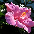 Pink Hibiscus by Caren