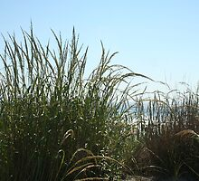 Narragansett Dunes- Beach Grass by cindyh
