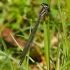 Dragonfly - small variety approx. 3 cm long by Ron Co