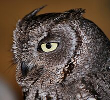 Western Screech Owl 3 by Angela Pritchard