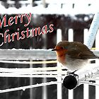 Christmas Robin by kevsphotos2008