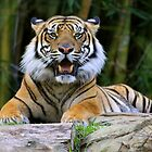 Sumatran Tiger by smallan