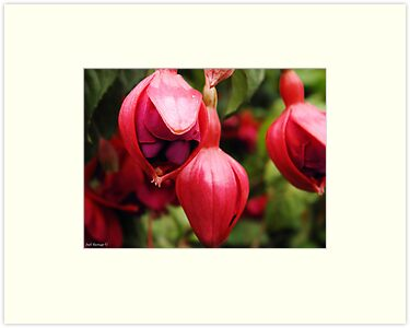 Fuschia by Judi Rustage