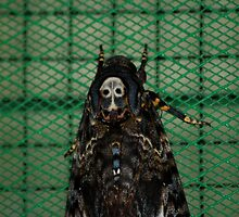 Deaths Head Moth - Borneo by Loachlover