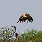 Tawny Eagle by Riaan van der Merwe