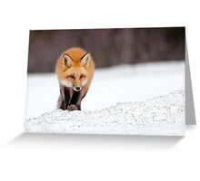 Red Fox, Algonquin Park, Canada. Greeting Card