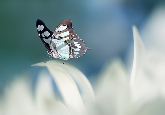 Soft blue by Lyn Evans