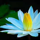 white water lily macro by Gerry Daniel