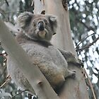 Koala in tree at Heathmere by Michael Barnett