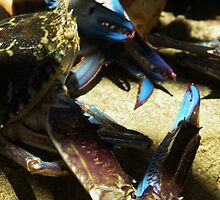 Blue manna crabs by Nicola  France
