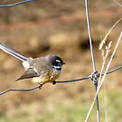 Fantail - New Zealand by AndreaEL