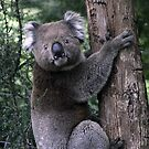 Local Koala by WendyJC