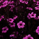 Purple & Purple, Golden Gate Park- SFO by David Mellor