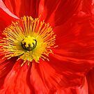 Red Poppy by Hans Kawitzki
