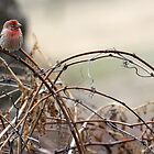 Bramble Finch by J. L. Gould