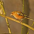 Chaffinch by Robert Abraham