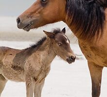 """""""Watching Over"""" - wild horses on beach by John Hartung"""