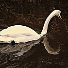 Swan Reflection by Stan Owen