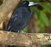 Black Butcherbird by triciaoshea