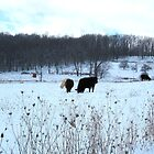 Bovine in Winter by teresa731