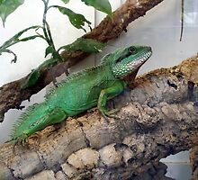 Lovely green iguana by daffodil