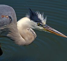 Great Blue Heron by Tomas Abreu
