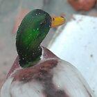 Silky mullard duck by Mustafa UZEL