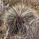 porcupine by Heath Dreger