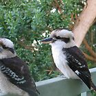 Kookaburras, Waratah beach by marijkasworld