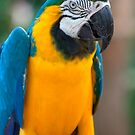 Blue and Gold Macaw, Brazil, South America by Deb22