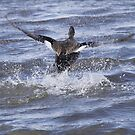 Gadwell Ducks Take off by Dennis Cheeseman