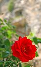 Rose in a Courtyard - Gallipoli Italy by Debbie Pinard