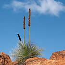 """Reach up""  ~ Xanthorrhoea Quadrangulata by Robert Elliott"