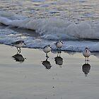 Sanderlings  by smalletphotos