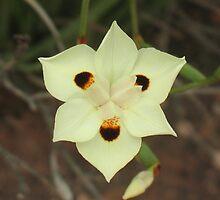 African Iris, Dietes bicolor by Michael John