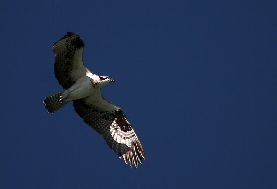 Flight of the Osprey by Virginia N. Fred