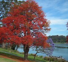 Illawarra Flame Tree on Bank of Shoalhaven River by Christa57