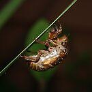 Cicada Nymphal Skin by aussiebushstick