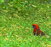 Rosella in the Daisies by Meg Hart