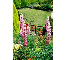 Pink Lupin flowers in a garden Photographic Print