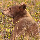 Brown Black Bear of Waterton National Park  by j Kirk Photography                      Kirk Friederich