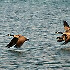 Canada Geese -3 by Barry W  King