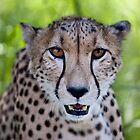 Cheetah (Acinonyx jubatus) at Close Quarters by Chris Westinghouse
