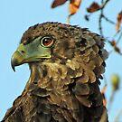 Immature bateleur eagle by jozi1