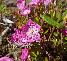 Alpine Laurel (Kalmia microphylla)  by Vickie Emms