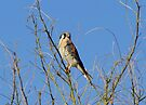 American Kestrel ~ Male by Kimberly Chadwick