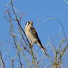 American Kestrel ~ Male by Kimberly P-Chadwick